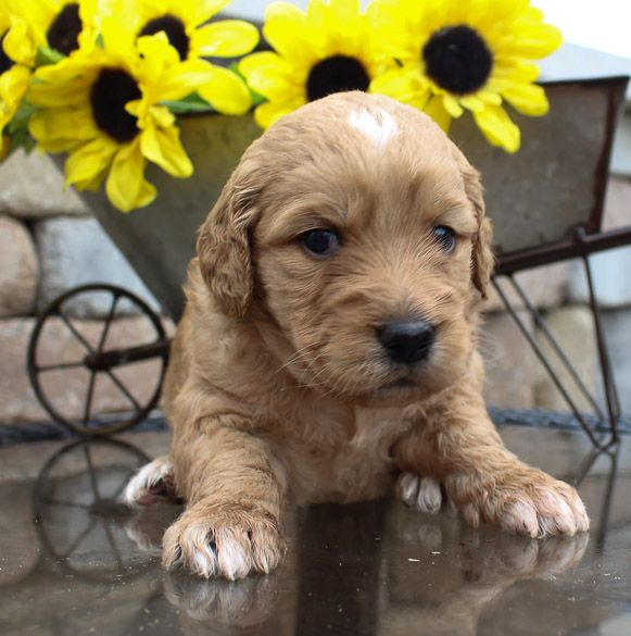 puppy Goldendoodle for sale in Indiana Goldendoodle