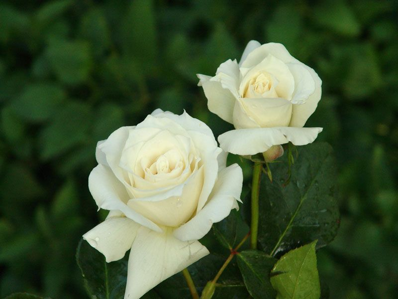 Pascali Ludwig S Roses White Rose Flower Flowers Types Of White Flowers
