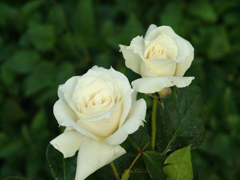 White Rose Varieties Listed Clockwise Starting From The Top Polar Star Escimo Vendela White Majolica And Ti Rose Varieties White Roses White Roses Wedding