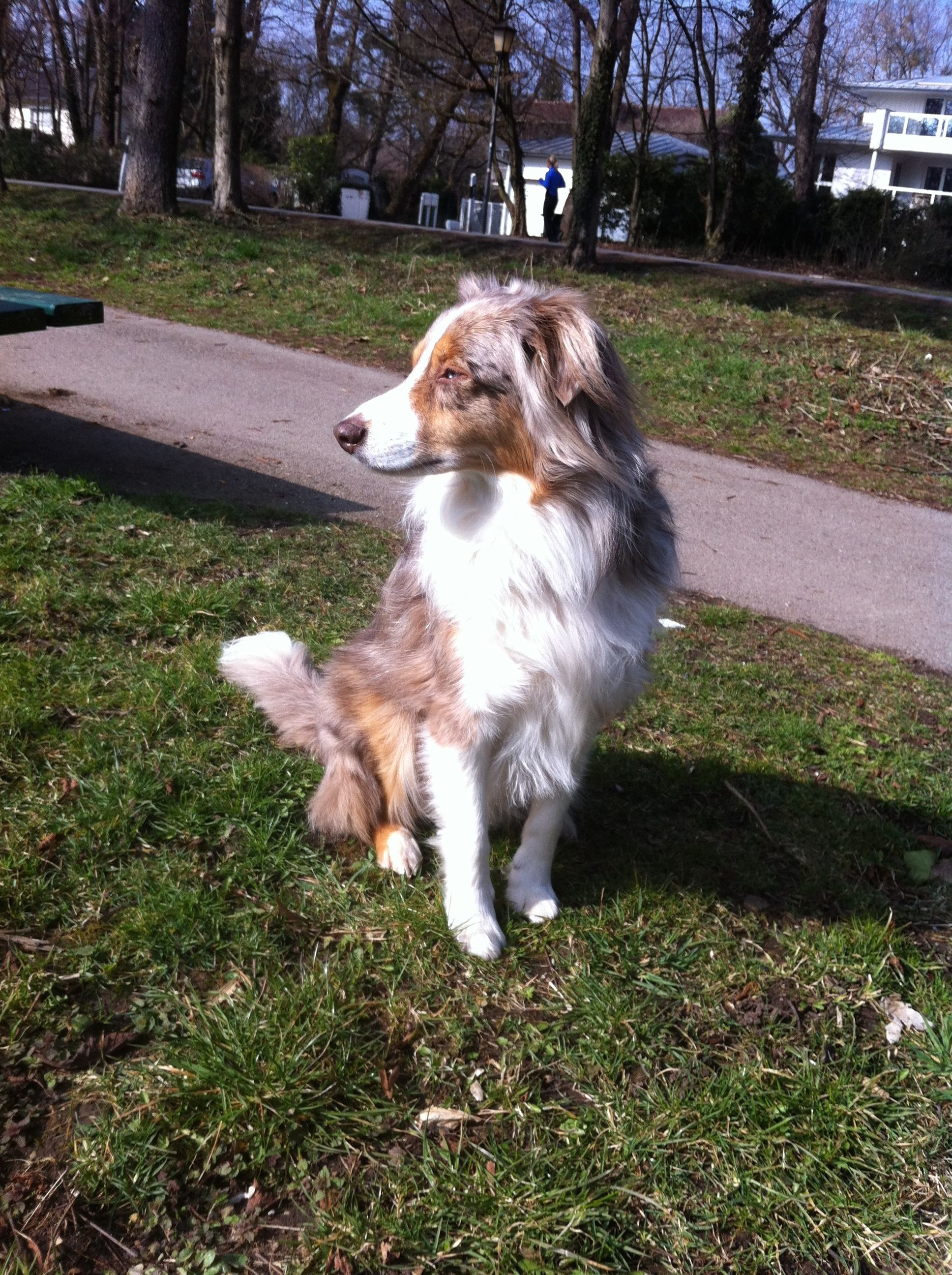 a summerdog ) Australian shepherd, Doggy, Dogs