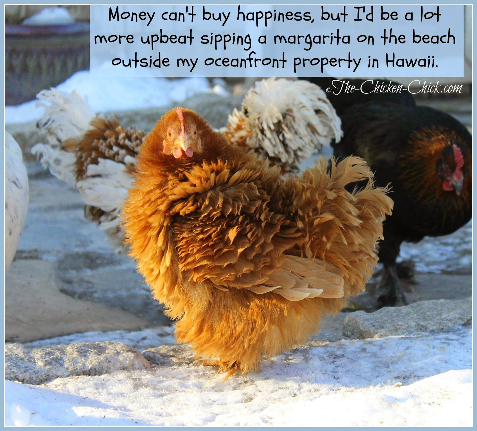 10 winter chicken care mistakes to avoid chicken winter