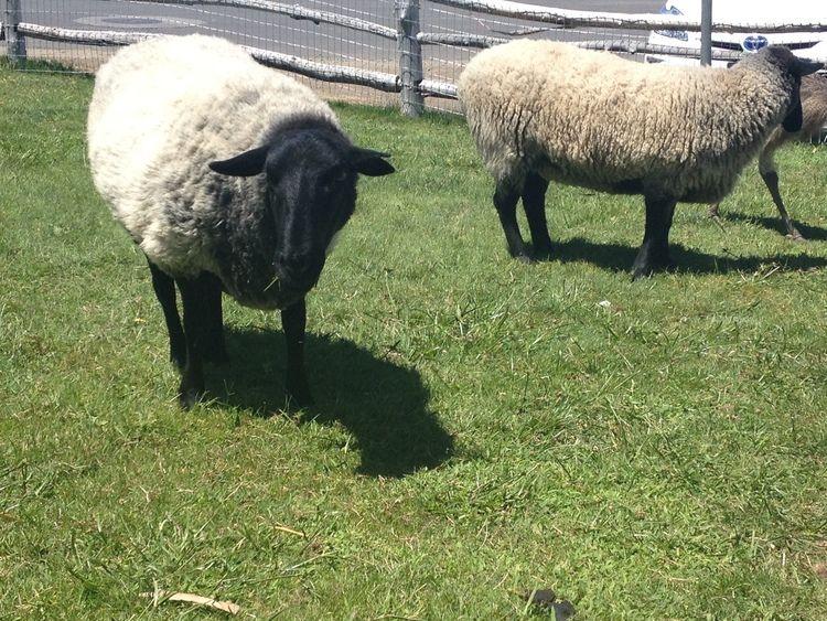 Sheep at Castello di Amorosa, Napa Valley Napa valley