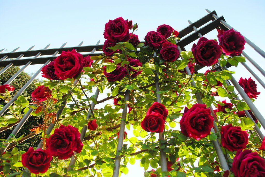 Roses Cascade by VeryBadGirl on DeviantArt