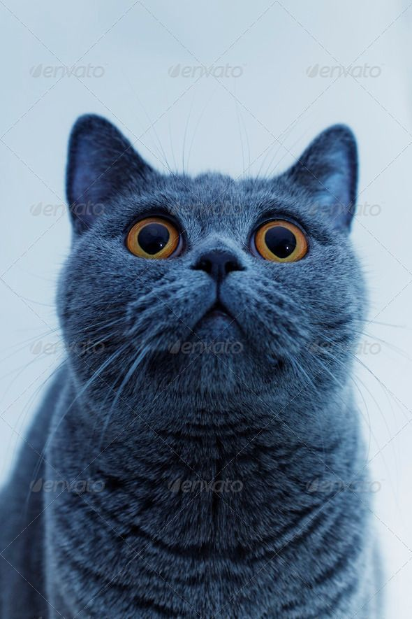 Young Beautiful Gray British Cat Beautiful Blue British Cat