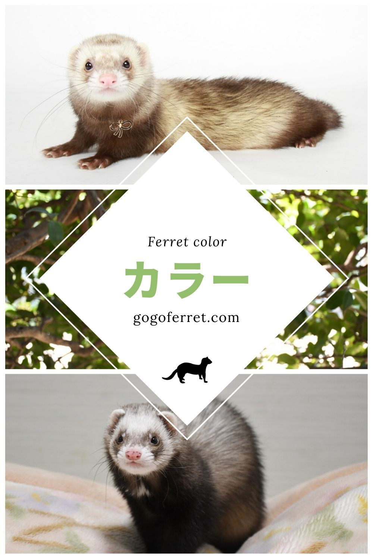 どの毛色が好き フェレットのカラーバリエーションを紹介 エキゾチックアニマル カラー かわいいペット