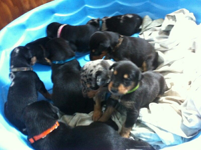 Doberman Border Collie Mix Puppies These Are Dollie S Brothers