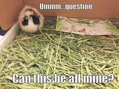 plenty of timothy hay for a guinea pig guinea pigs pinterest