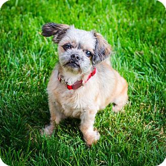 Pin By Kim Castillon On Adopt Me Pets Shih Tzu Dogs