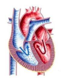 Sistema Circulatorio Sistema Circulatorio Vasos Linfaticos