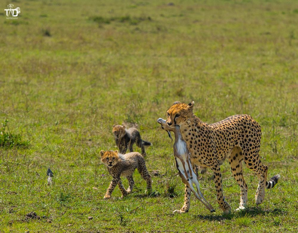 The Famous Female Cheetah Malaika Bringing Back A Snack For Her Cubs Kruger National Park Animals Cheetahs