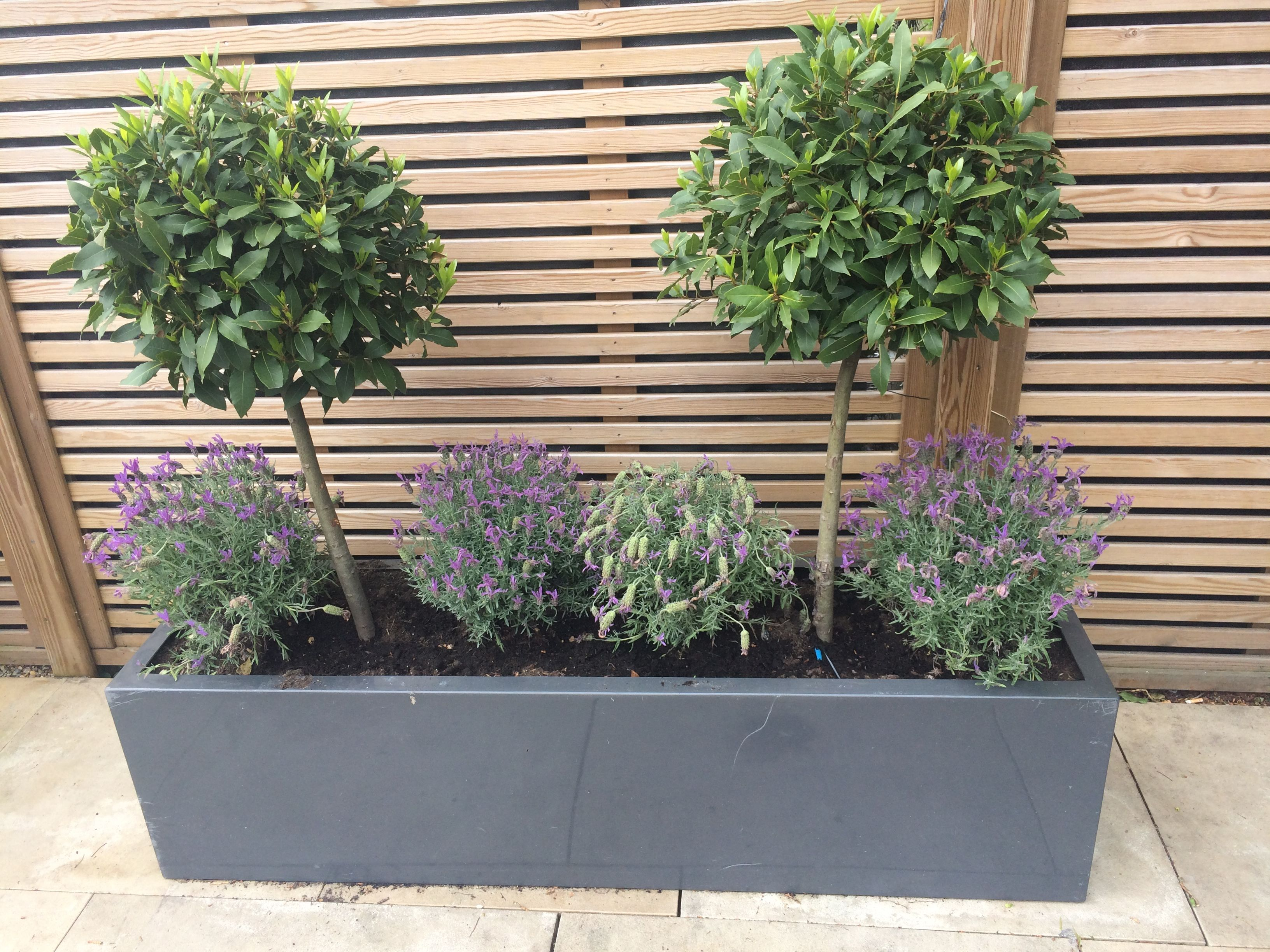 Beautiful bay trees teamed with lavender in a stylish grey for Small patio plant ideas