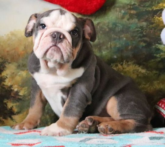 Athena Is A Blue Tri Female English Bulldog Puppy With Champion