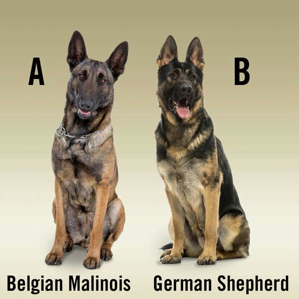 I Have One Of Each Perfect Dogs Belgian Malinois Dog Malinois Dog Malinois