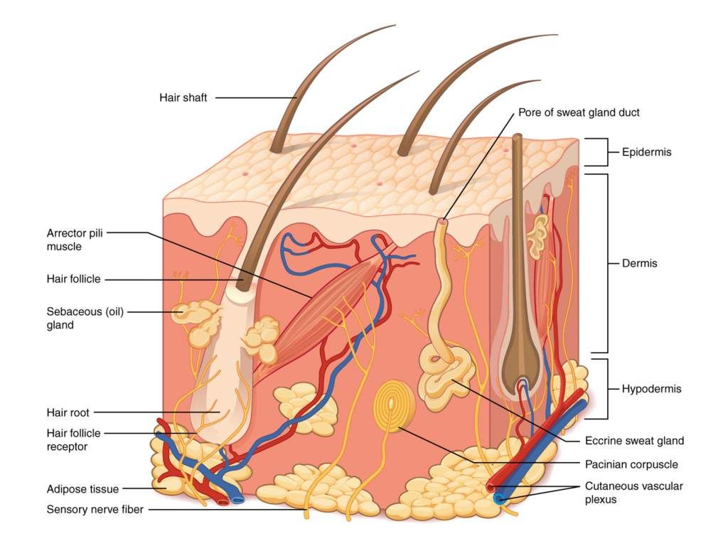 Structure of human skin. Diagram via Philschatz\'s Anatomy-Book on ...