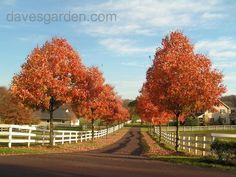 Full Size Picture Of Southern Sugar Maple Florida I Acer Barbatum