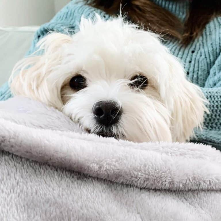 15 Things You Should Never Say To A Maltese Owner