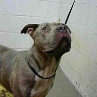 Adopt A Pet :: NICK - Atlanta, GA