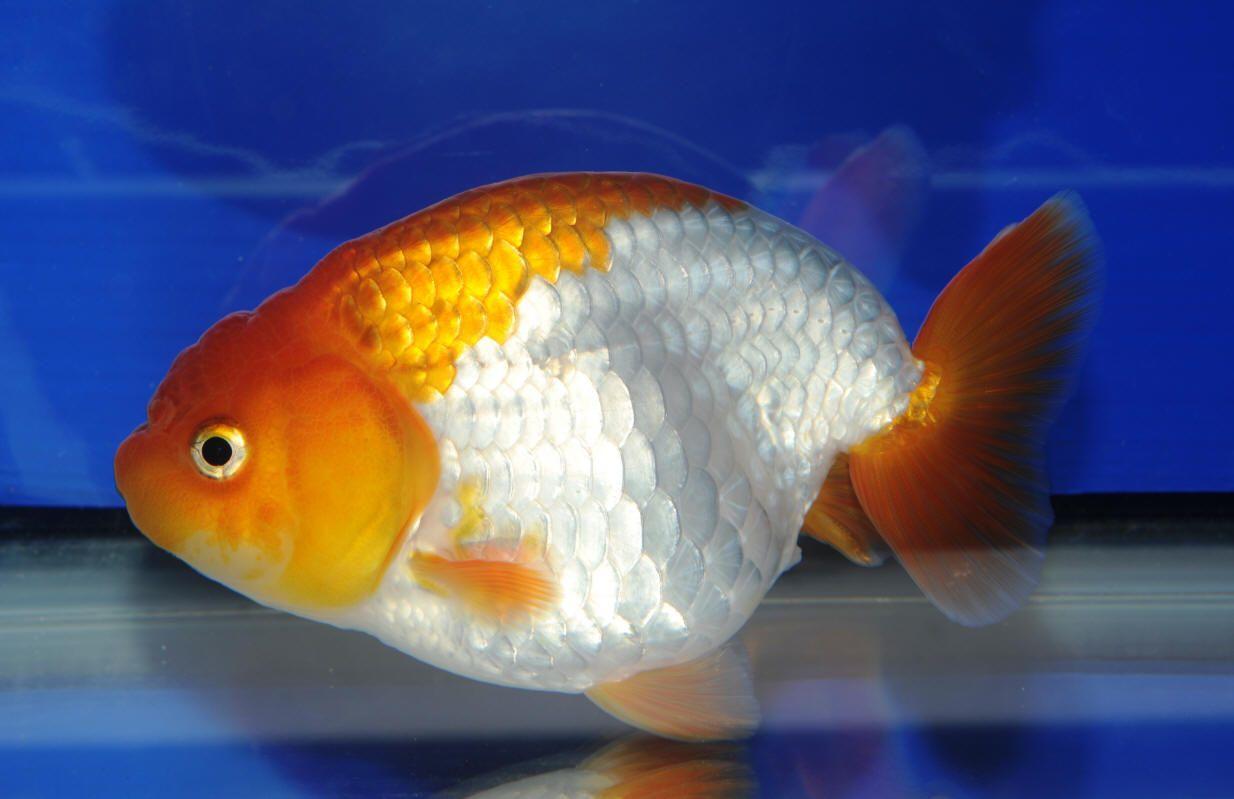 Ranchu Goldfish Ocean Animals Unit Aquarium Fish For
