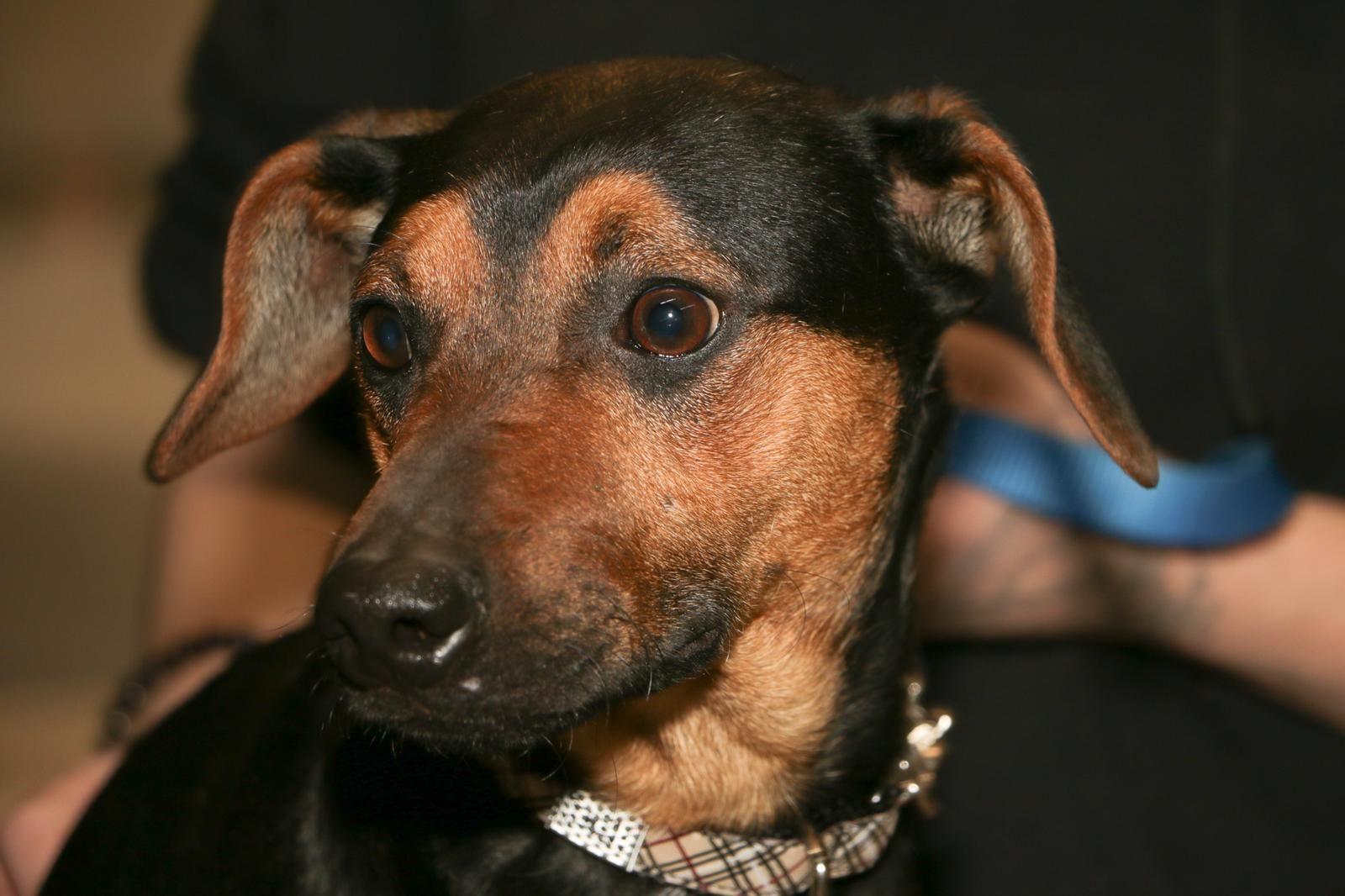 Adopt Nibbles On Adoption Dogs Miniature Pinscher