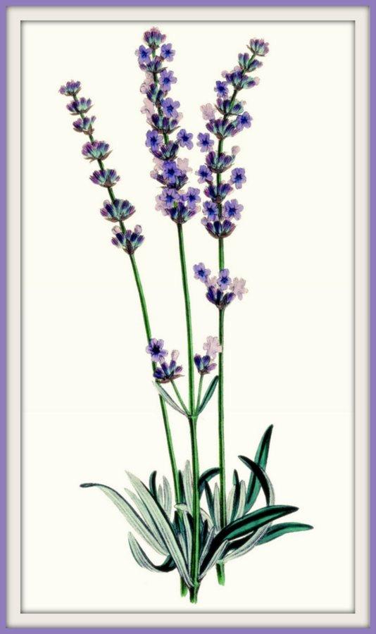 kitchen art lavender plant late victorian 1890s print kitchen rh pinterest com Mirror Clip Art French Mirror Clip Art French