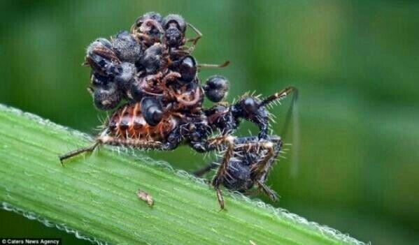 الحشرة السفاحة هي حشرة تقوم بقتل عدد كبير من النمل قد تصل الى 20 نملة ثم تقوم بحملها على ظهرها Weird Animal Facts Animal Facts Weird Animals