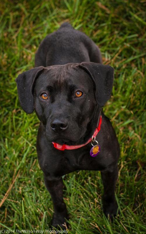 Adopt Saratoga On Petfinder Labrador Puppy Labrador Retriever Basset Hound Dog