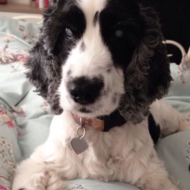 Lily the blind Cocker Spaniel