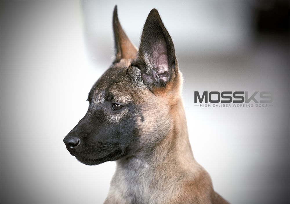 Belgian Malinois Cute Baby Animal Puppy Puppies Malinois Puppies Malinois