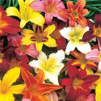 Reblooming Dwarf Daylily Mix 12 20 In High Blooms Early Summer