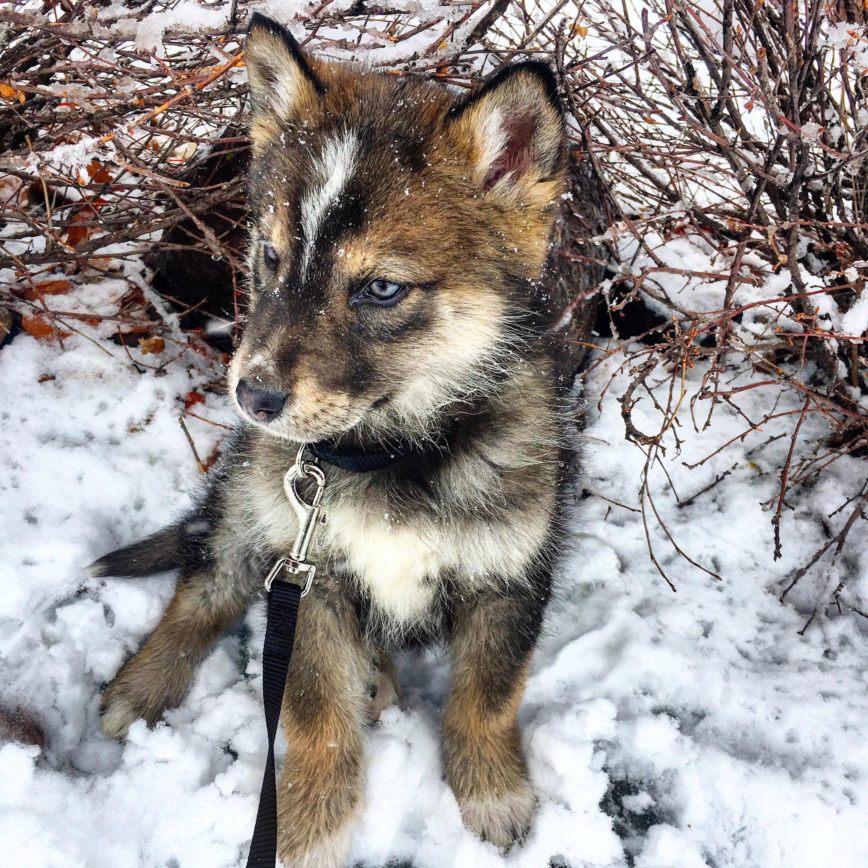 Shalom Shepherd Native American Indian Dog and German