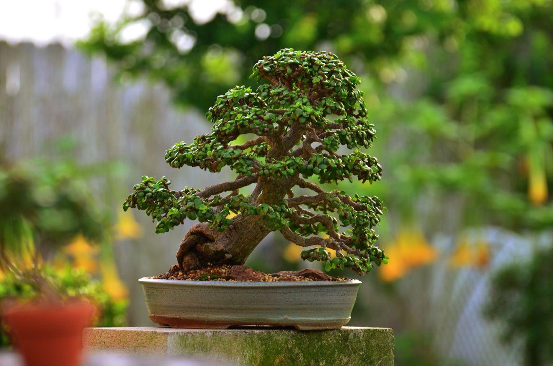 Portulacaria Afra Bonsai Tree 12 Years In Training By Www Littlejadebonsai Com Jade Bonsai Bonsai Tree Succulent Bonsai