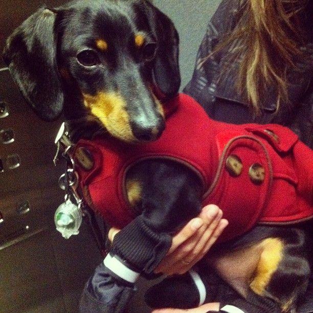 Got My Winter Boots On Dogcoat Dachshund Doxie Wienerdog By