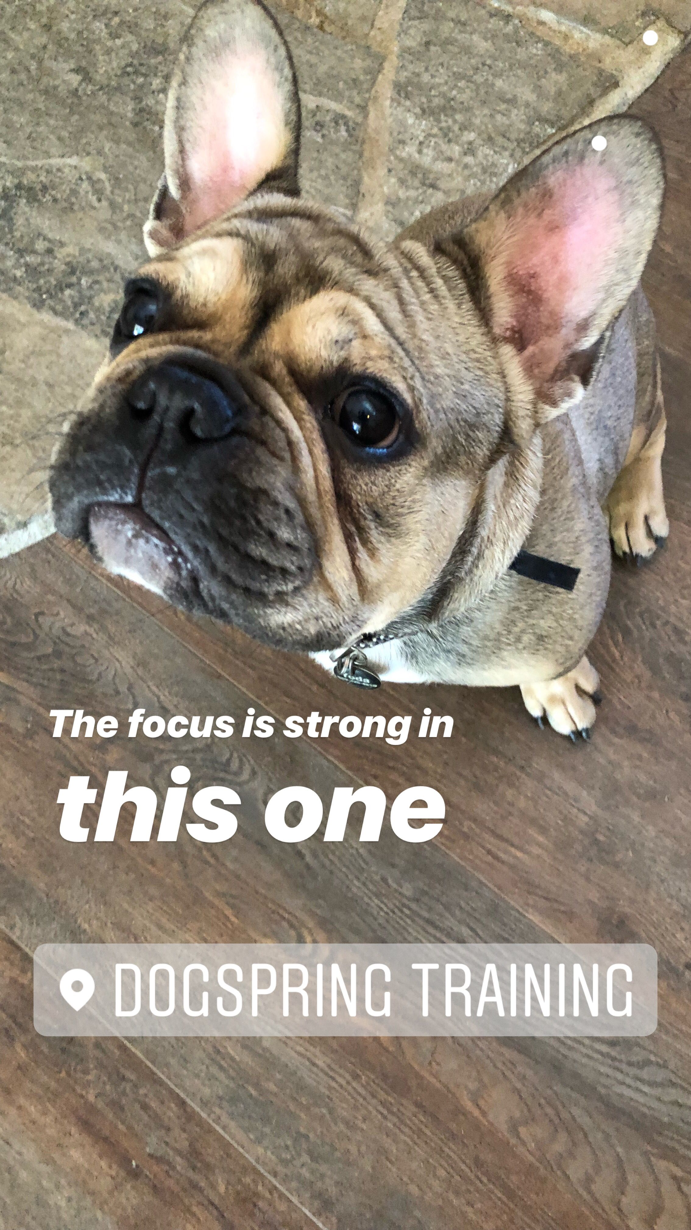 French bulldog learning to listen at dogspring training