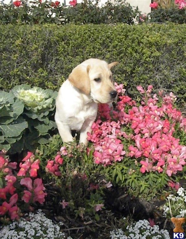 White Lab Labrador Puppies For Sale Black Labrador Puppies For