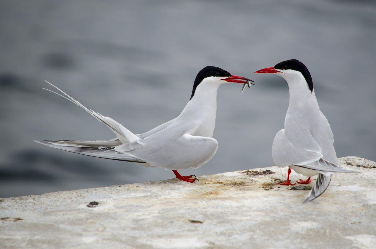Lo mío es tuyo    Gaviotín sudamericano alimentándose a en las costas de Puerto Madryn, Sur de Argentina.