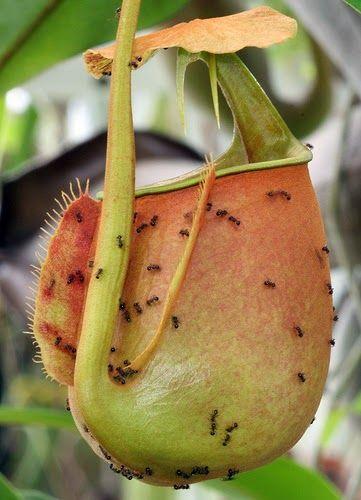 plante carnivore histoire