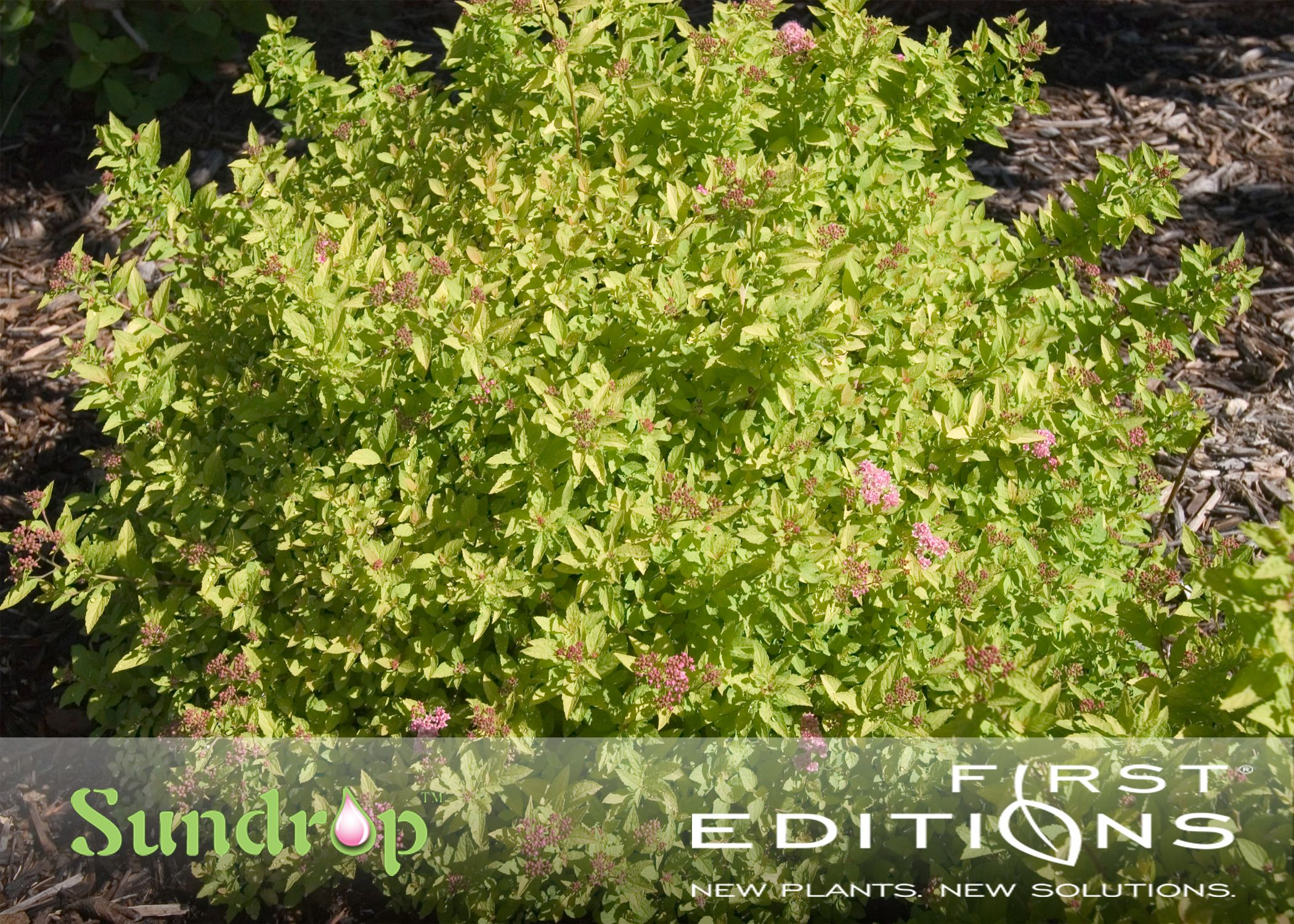 Sundrop Spirea Will Add A Drop Of Sunshine To Any Border Beautiful