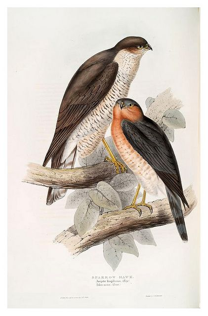 Sparrow Hawk...lovely work of art!  The female is the MUCH larger one, which is unusual in the bird kingdom
