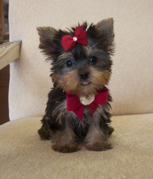 Cassie S Closet Teacup Puppies Yorkie Puppy Yorkie