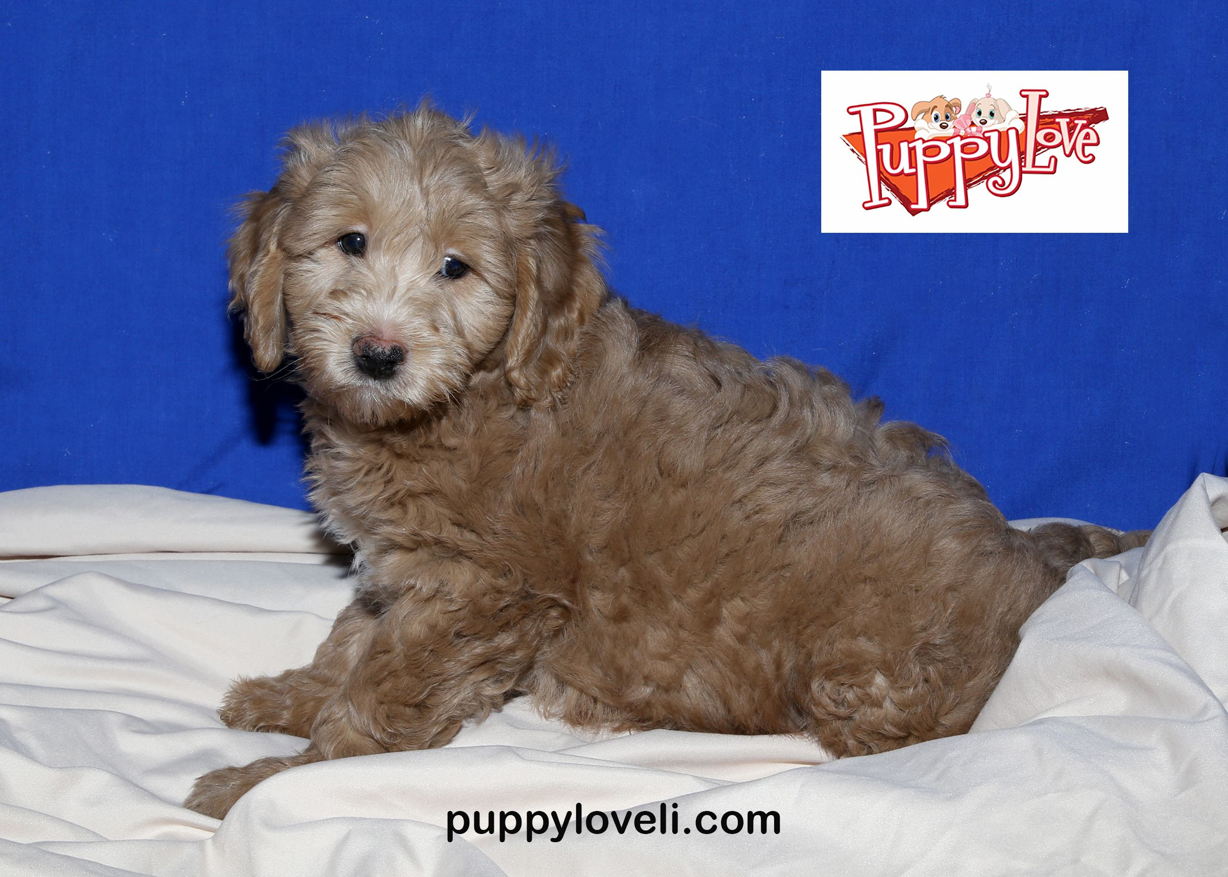 Mini Golden Doodle For Sale On Long Island At Puppy Love In