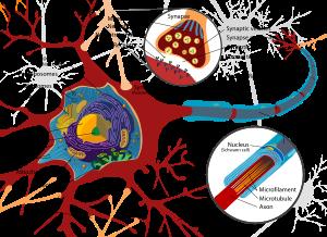 Partes del Sistema Nervioso Central (SNC): . Axón: prolongación larga que recibe la información bio-química de las neuronas. .Dendritas: prolongación corta que codifica la información bio-química de las neuronas. .Mielina: capa protectora que recubre las neuronas cuya función esencial es aportar energía para la velocidad del impulso nervioso. Lugar donde se realiza la sinapsis.