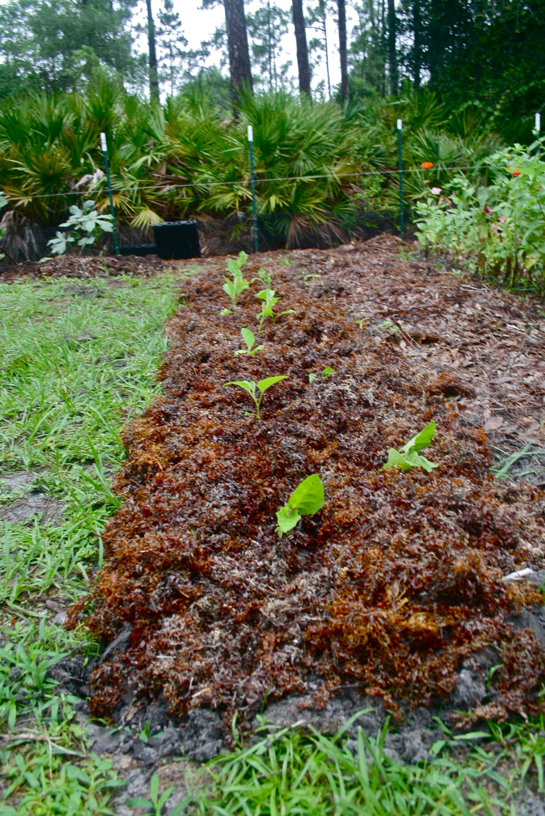 Seaweed mulch and Eggplant starters in the #Florida #permaculture ...