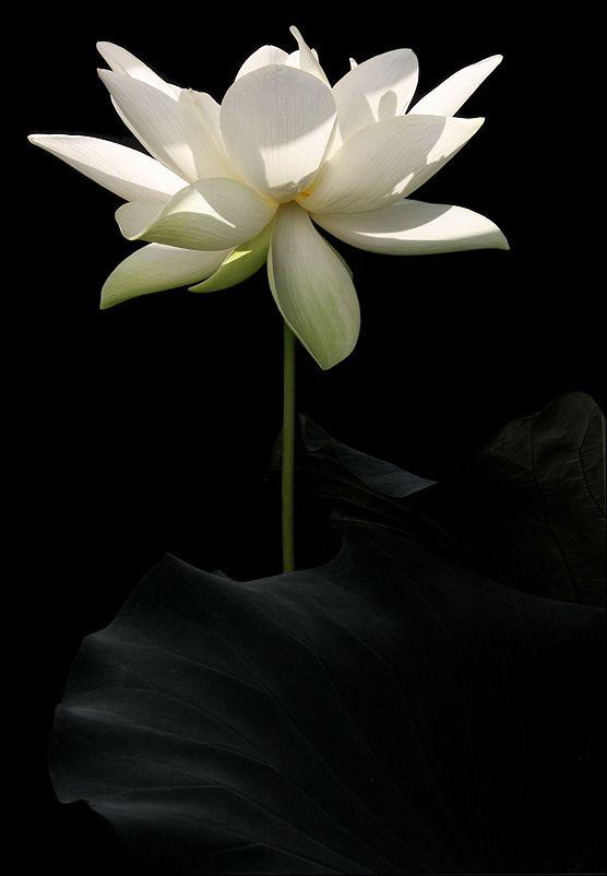 White Lotus Flower Img 2981 D 1000 White Lotus Flower Lotus Flower Images Flowers