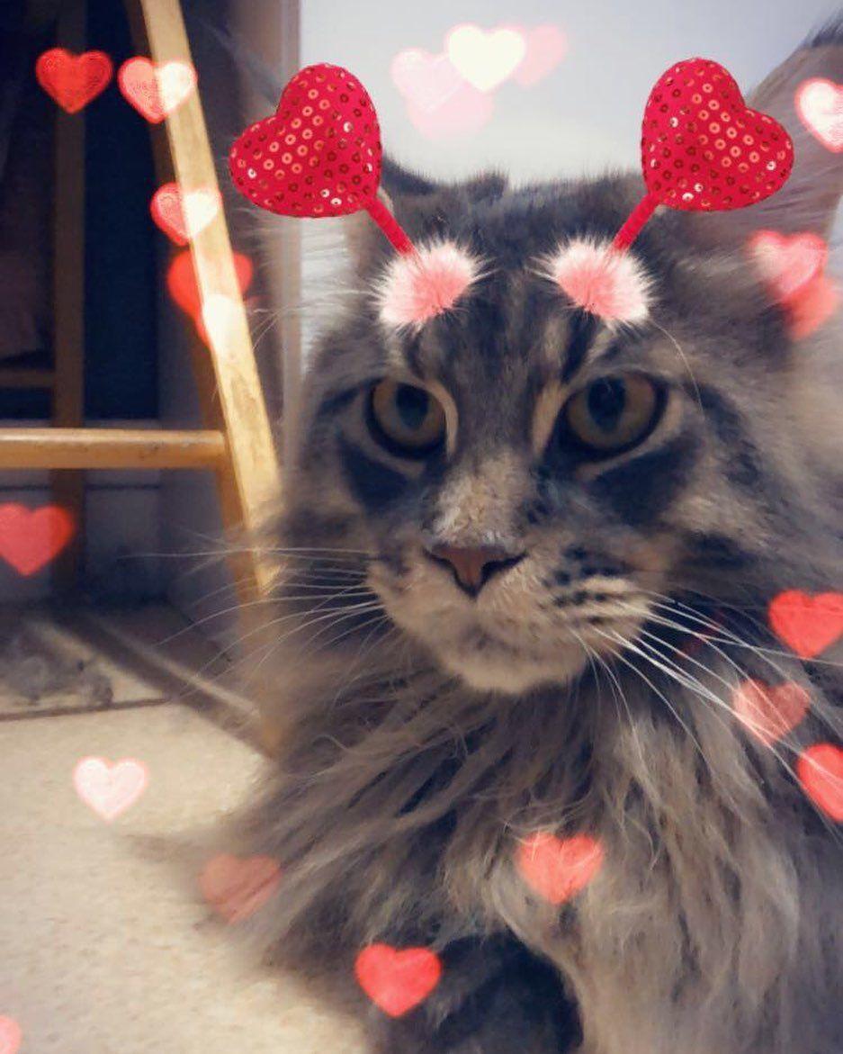 Oreo Avec Un Filtre Snap Cat Chat Cute Chats Cats Chaton Kitten Oreocat Monchatoreo Lovecat Lovecats Mignon Mainecoon Maineco Cats Animals
