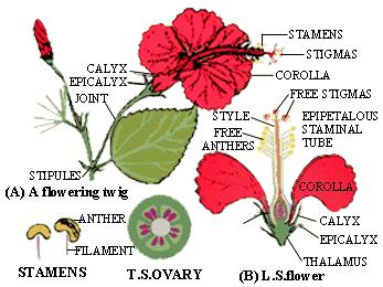 Paling Keren 22 Gambar Bunga Kembang Sepatu Beserta Bagian Nya Gambar Bunga Kembang Sepatu Beserta Bagiannya Gambar B Bunga Kembang Sepatu Gambar Bunga Bunga