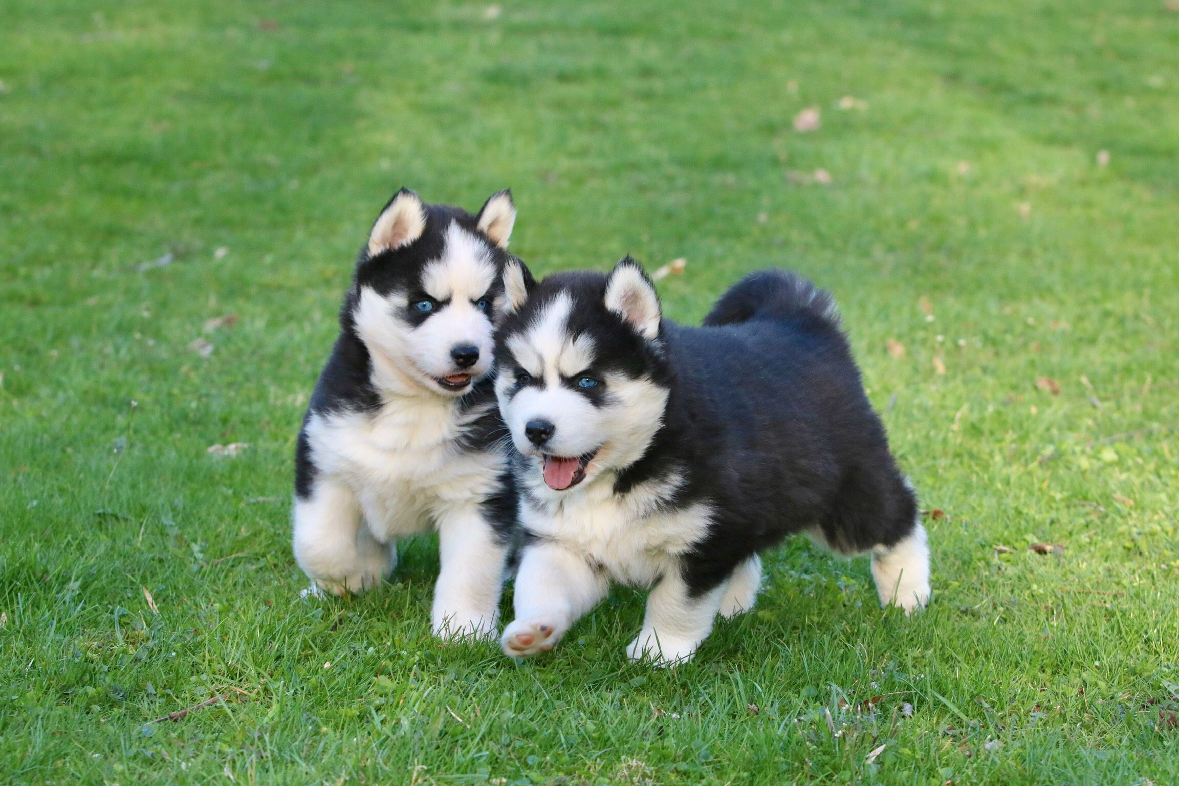Wolf Dog Puppy For Sale Wolf Dog Puppies Are Better In Pairs 2 Years Old Wolf Dog Puppy Wolf Dog Wolf Puppies For Sale