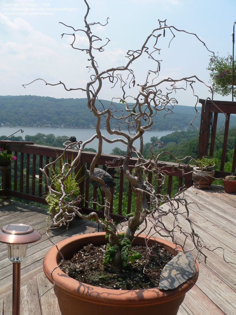 PlantFiles: Picture #36 of Corkscrew Hazel, Contorted Filbert, Harry Lauder's Walking Stick 'Contorta' (Corylus avellana)