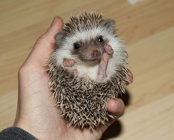 Available West Coast Hedgehogs Baby Hedgehogs For Sale In Oregon Baby Hedgehog Hedgehog For Sale Baby Hedgehogs For Sale