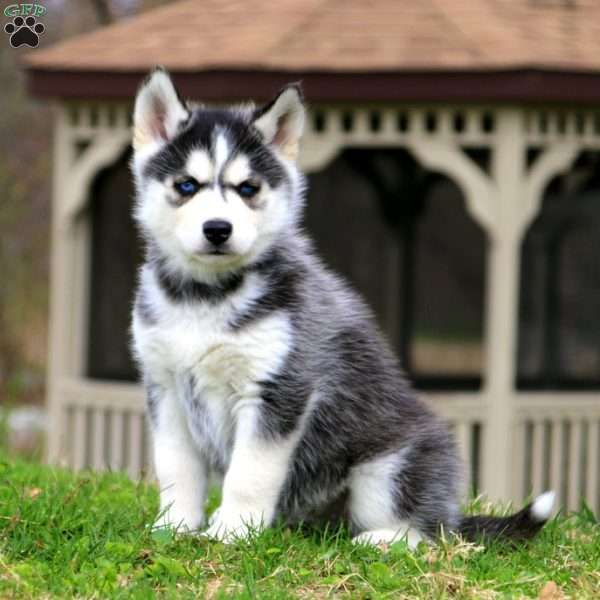 Wentz Siberian Husky Puppy For Sale In Pennsylvania Fluffy S