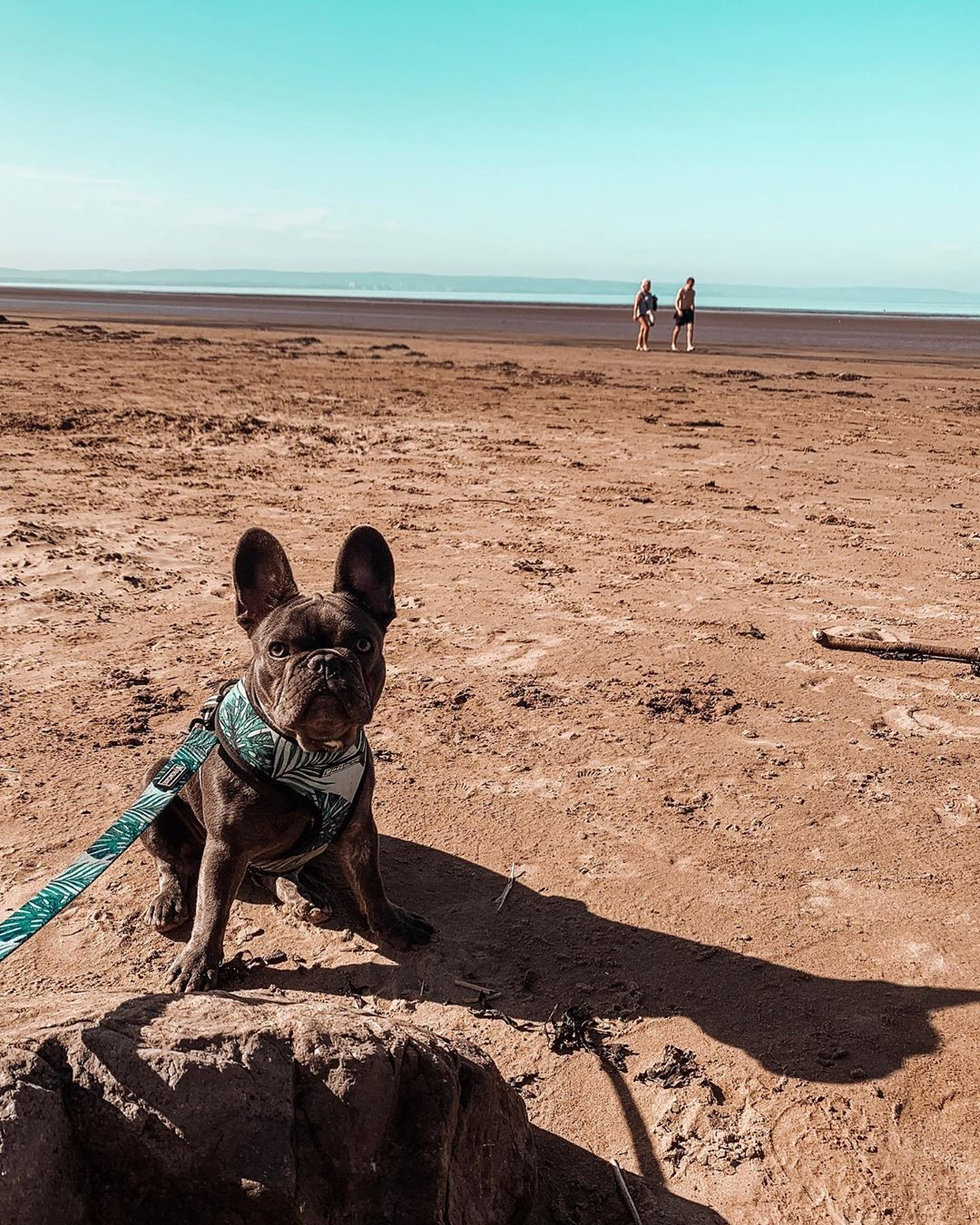 Luna On The Beach Brean Beach Frenchie Frenchies